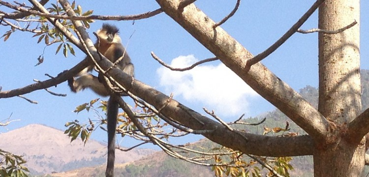 Golden-Langur-Bhutan-Endangered-Species