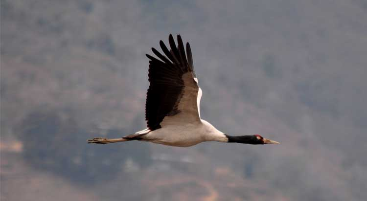 Black necked cranes in Tashi Yangtse