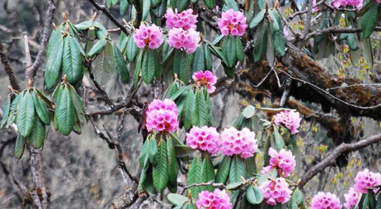 Bhutan is home to about 46 species of Rhododendron