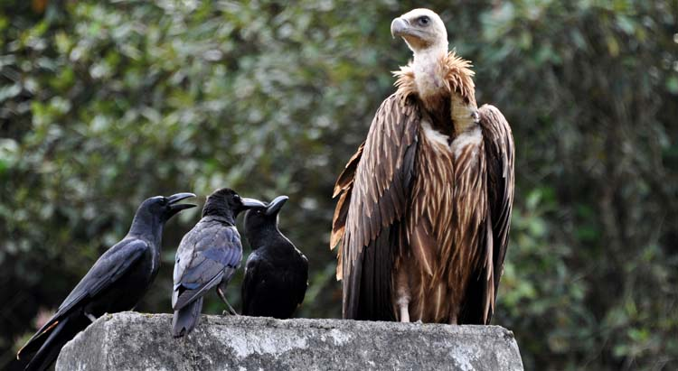 Vulture and crows